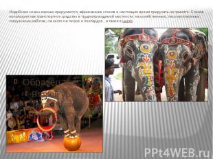Индийские слоны хорошо приручаются; африканских слонов в настоящее время прируча