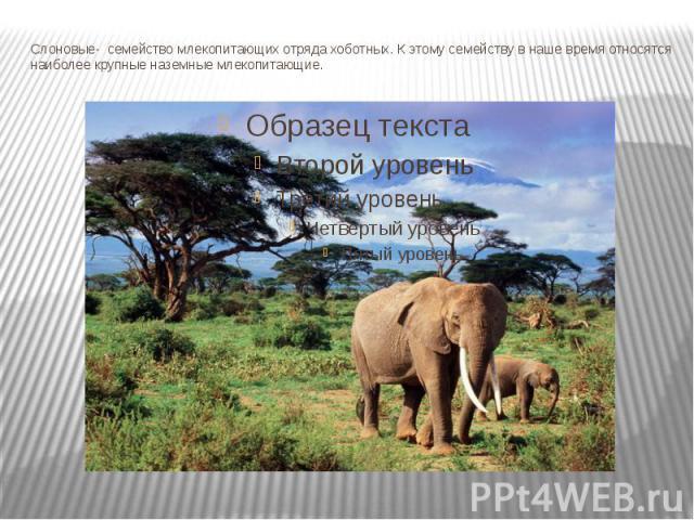 Слоновые- семействомлекопитающихотрядахоботных. К этому семейству в наше время относятся наиболее крупные наземные млекопитающие.