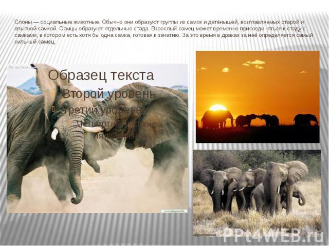 Слоны— социальные животные. Обычно они образуют группы изсамокидетёнышей, возглавляемых старой и опытной самкой.Самцыобразуют отдельные стада. Взрослый самец может временно присоединяться к стаду с самками, в котором есть хотя бы одна самка, г…