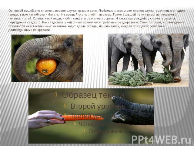 Основной пищей для слонов в неволе служат трава и сено. Любимым лакомством слонов служат различные сладкие плоды, такие как яблоки и бананы. Из овощей слоны любят морковь. Также большой популярностью пользуются печенье и хлеб. Слоны, как и люди, люб…