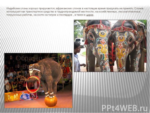 Индийские слоны хорошо приручаются; африканских слонов в настоящее время приручать не принято. Слонов используют кактранспортное средствов труднопроходимой местности, на хозяйственных, лесозаготовочных, погрузочных работах, на охоте на тигров и ле…