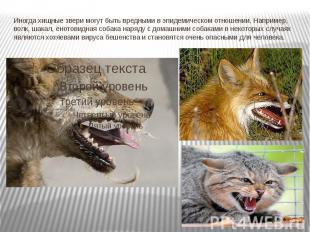 Иногда хищные звери могут быть вредными в эпидемическом отношении. Например, вол