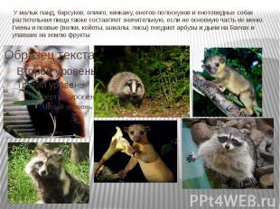У малых панд, барсуков, олинго, кинкажу, енотов-полоскунов и енотовидных собак