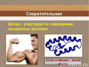 Сократительная Белки - участвуют в сокращении мышечных волокон Актин и миозин –