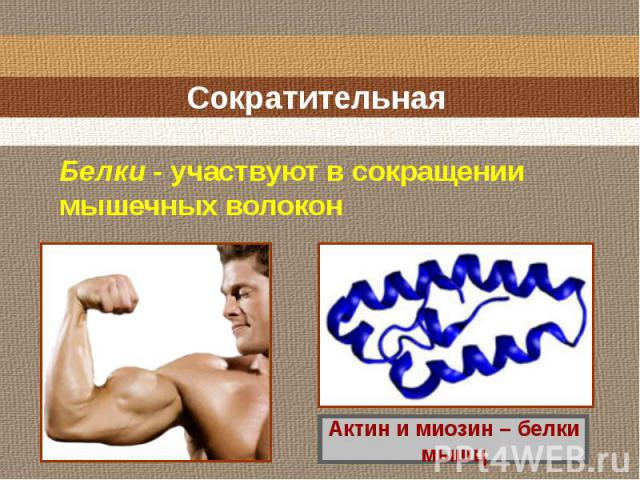 Сократительная Белки - участвуют в сокращении мышечных волокон Актин и миозин – белки мышц