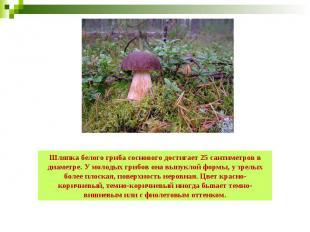 Шляпка белого гриба соснового достигает 25 сантиметров в диаметре. У молодых гри