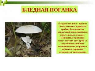 БЛЕДНАЯ ПОГАНКА Бледная поганка - один из самых опасных ядовитых грибов, большин