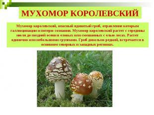 МУХОМОР КОРОЛЕВСКИЙ Мухомор королевский, опасный ядовитый гриб, отравление котор