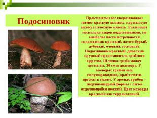 Подосиновик Практически все подосиновики имеют красную шляпку, коренастую ножку