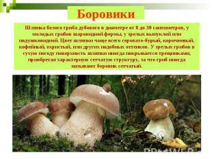 Боровики Шляпка белого гриба дубового в диаметре от 8 до 30 сантиметров, у молод
