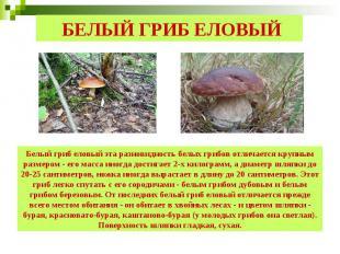 БЕЛЫЙ ГРИБ ЕЛОВЫЙ Белый гриб еловый эта разновидность белых грибов отличается кр