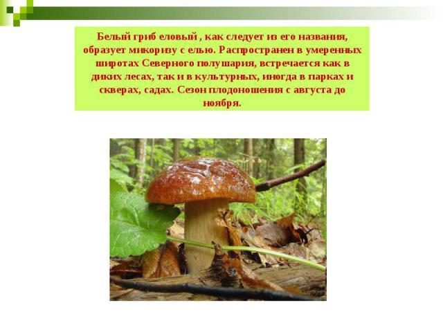 Белый гриб еловый , как следует из его названия, образует микоризу с елью. Распространен в умеренных широтах Северного полушария, встречается как в диких лесах, так и в культурных, иногда в парках и скверах, садах. Сезон плодоношения с августа до ноября.