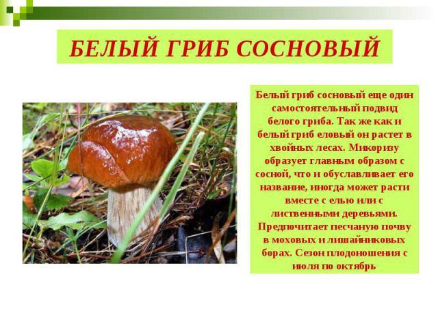 БЕЛЫЙ ГРИБ СОСНОВЫЙ Белый гриб сосновый еще один самостоятельный подвид белого гриба. Так же как и белый гриб еловый он растет в хвойных лесах. Микоризу образует главным образом с сосной, что и обуславливает его название, иногда может расти вместе с…