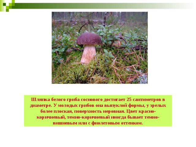 Шляпка белого гриба соснового достигает 25 сантиметров в диаметре. У молодых грибов она выпуклой формы, у зрелых более плоская, поверхность неровная. Цвет красно-коричневый, темно-коричневый иногда бывает темно-вишневым или с фиолетовым оттенком.