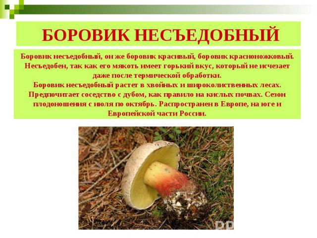 БОРОВИК НЕСЪЕДОБНЫЙ Боровик несъедобный, он же боровик красивый, боровик красноножковый. Несъедобен, так как его мякоть имеет горький вкус, который не исчезает даже после термической обработки.Боровик несъедобный растет в хвойных и широколиственных …