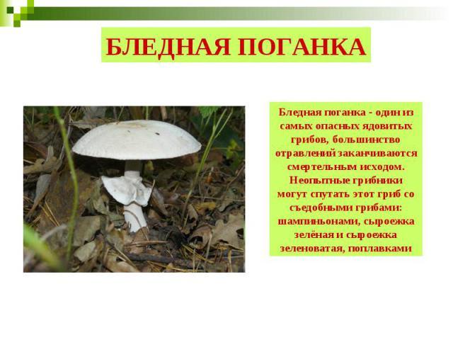 БЛЕДНАЯ ПОГАНКА Бледная поганка - один из самых опасных ядовитых грибов, большинство отравлений заканчиваются смертельным исходом. Неопытные грибники могут спутать этот гриб со съедобными грибами: шампиньонами, сыроежка зелёная и сыроежка зеленовата…
