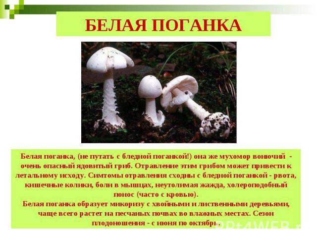 БЕЛАЯ ПОГАНКА Белая поганка, (не путать с бледной поганкой!) она же мухомор вонючий - очень опасный ядовитый гриб. Отравление этим грибом может привести к летальному исходу. Симтомы отравления сходны с бледной поганкой - рвота, кишечные колики, боли…
