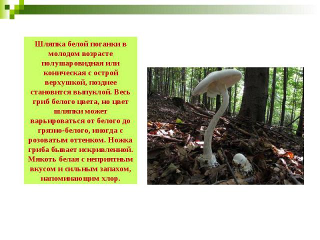 Шляпка белой поганки в молодом возрасте полушаровидная или коническая с острой верхушкой, позднее становится выпуклой. Весь гриб белого цвета, но цвет шляпки может варьироваться от белого до грязно-белого, иногда с розоватым оттенком. Ножка гриба бы…