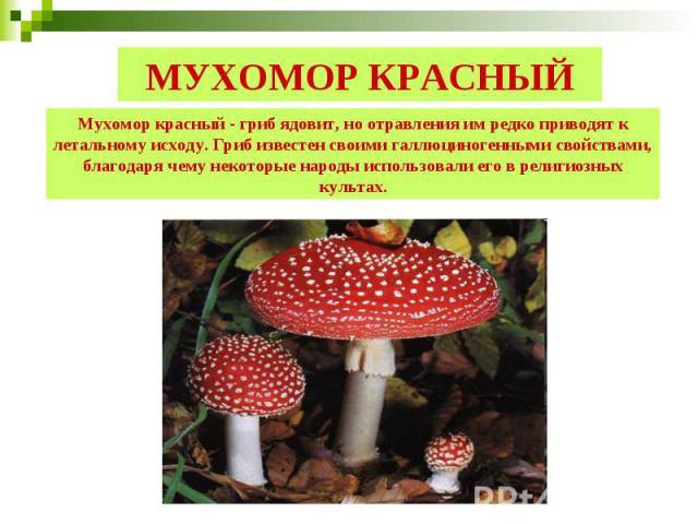 МУХОМОР КРАСНЫЙ Мухомор красный - гриб ядовит, но отравления им редко приводят к летальному исходу. Гриб известен своими галлюциногенными свойствами, благодаря чему некоторые народы использовали его в религиозных культах.