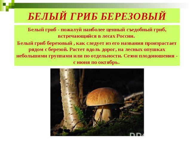 БЕЛЫЙ ГРИБ БЕРЕЗОВЫЙ Белый гриб березовый , как следует из его названия произрастает рядом с березой. Растет вдоль дорог, на лесных опушках небольшими группами или по отдельности. Сезон плодоношения - с июня по октябрь.