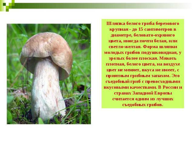 Шляпка белого гриба березового крупная - до 15 сантиметров в диаметре, беловато-охряного цвета, иногда почти белая, или светло-желтая. Форма шляпки молодых грибов подушковидная, у зрелых более плоская. Мякоть плотная, белого цвета, на воздухе цвет н…