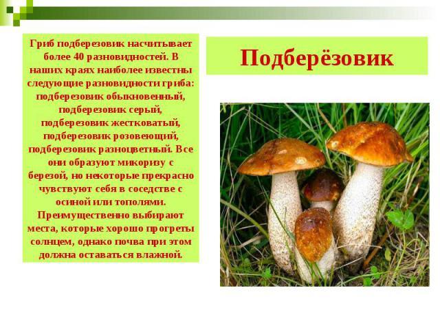Подберёзовик Гриб подберезовик насчитывает более 40 разновидностей. В наших краях наиболее известны следующие разновидности гриба: подберезовик обыкновенный, подберезовик серый, подберезовик жестковатый, подберезовик розовеющий, подберезовик разноцв…
