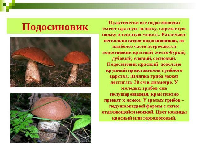 Подосиновик Практически все подосиновики имеют красную шляпку, коренастую ножку и плотную мякоть. Различают несколько видов подосиновиков, но наиболее часто встречаются подосиновик красный, желто-бурый, дубовый, еловый, сосновый. Подосиновик красный…