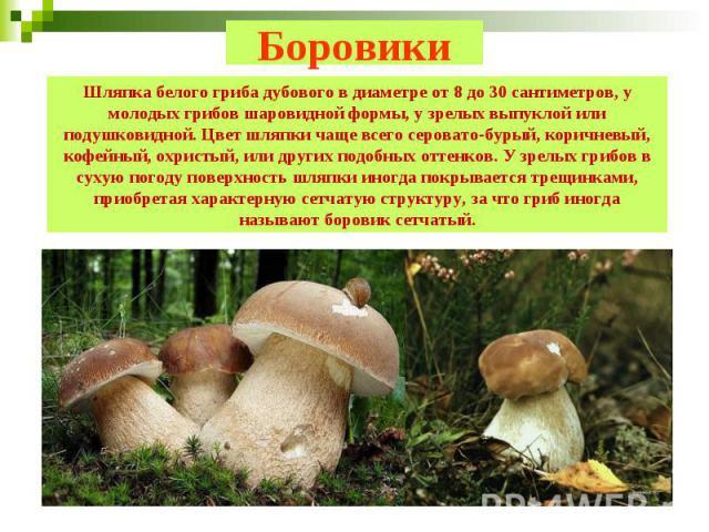 Боровики Шляпка белого гриба дубового в диаметре от 8 до 30 сантиметров, у молодых грибов шаровидной формы, у зрелых выпуклой или подушковидной. Цвет шляпки чаще всего серовато-бурый, коричневый, кофейный, охристый, или других подобных оттенков. У з…