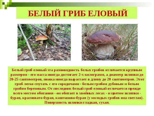 БЕЛЫЙ ГРИБ ЕЛОВЫЙ Белый гриб еловый эта разновидность белых грибов отличается крупным размером - его масса иногда достигает 2-х килограмм, а диаметр шляпки до 20-25 сантиметров, ножка иногда вырастает в длину до 20 сантиметров. Этот гриб легко спута…