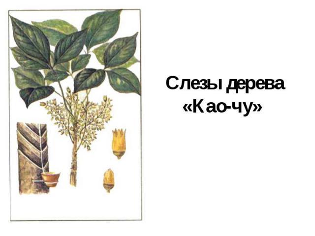 Слезы дерева«Као-чу»