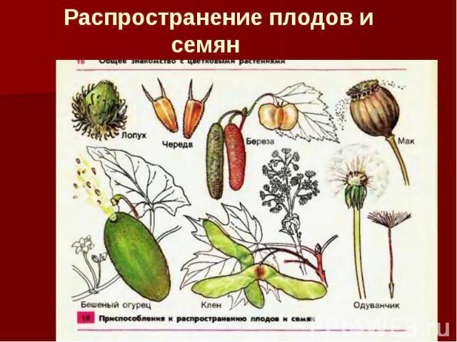 Распространение плодов и семян