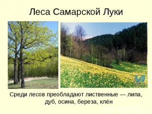 Леса Самарской ЛукиСреди лесов преобладают лиственные — липа, дуб, осина, береза