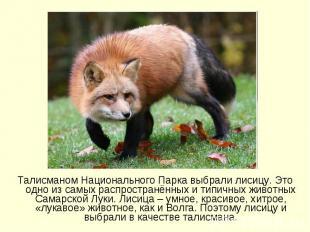 Талисманом Национального Парка выбрали лисицу. Это одно из самых распространённы