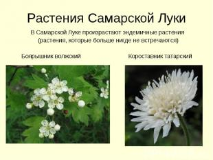 Растения Самарской Луки В Самарской Луке произрастают эндемичные растения (расте