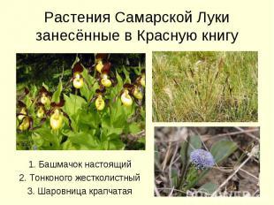 Растения Самарской Луки занесённые в Красную книгу 1. Башмачок настоящий2. Тонко