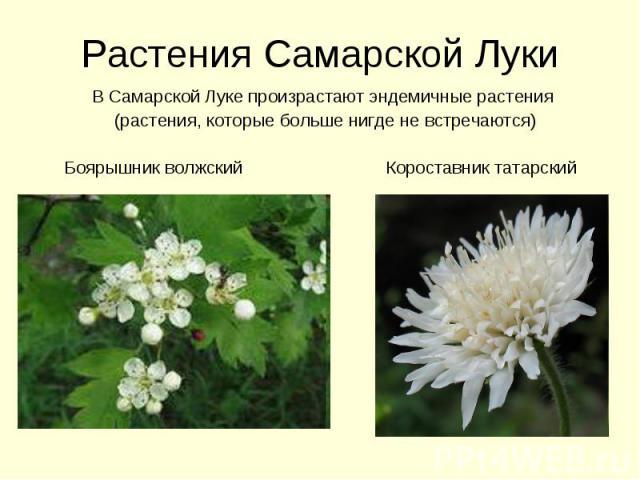 Растения Самарской Луки В Самарской Луке произрастают эндемичные растения (растения, которые больше нигде не встречаются) Боярышник волжский Короставник татарский
