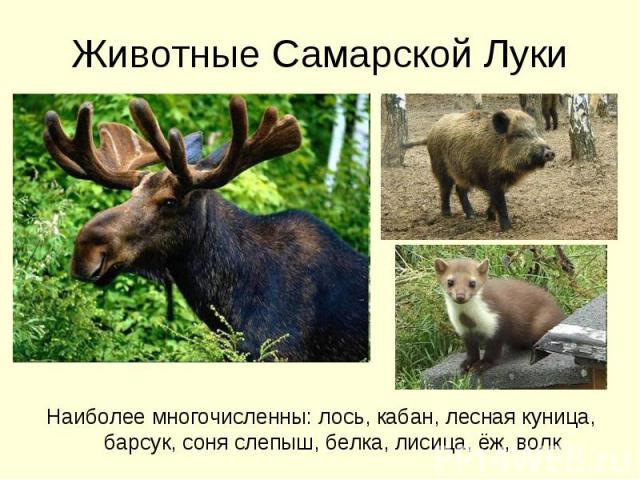 Животные Самарской Луки Наиболее многочисленны: лось, кабан, лесная куница, барсук, соня слепыш, белка, лисица, ёж, волк