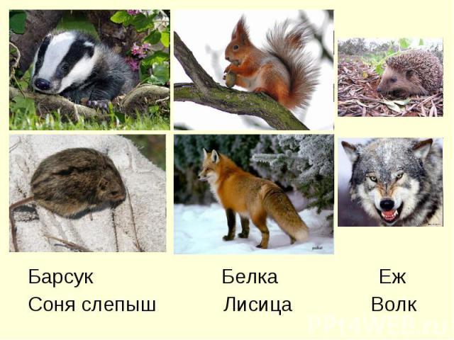 Барсук Белка ЕжСоня слепыш Лисица Волк