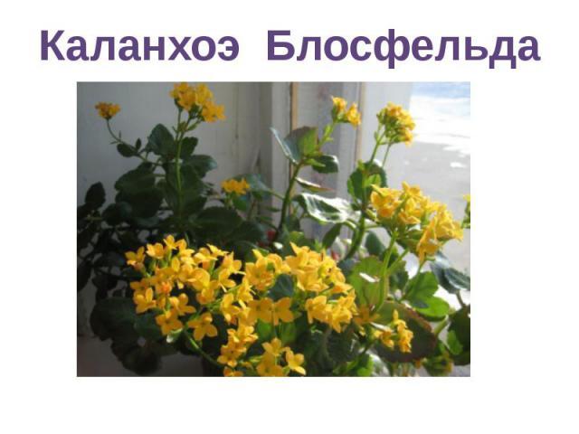 Каланхоэ Блосфельда