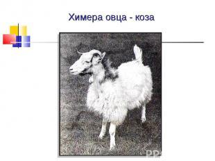 Химера овца - коза