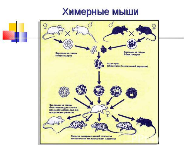 Химерные мыши