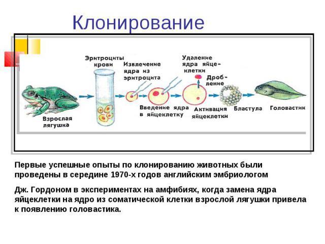 Клонирование Первые успешные опыты по клонированию животных были проведены в середине 1970-х годов английским эмбриологом Дж. Гордоном в экспериментах на амфибиях, когда замена ядра яйцеклетки на ядро из соматической клетки взрослой лягушки привела …