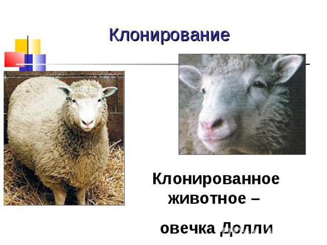Клонирование Клонированное животное – овечка Долли