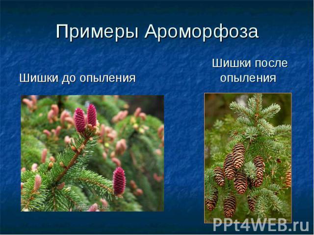Примеры АроморфозаШишки до опыления Шишки после опыления