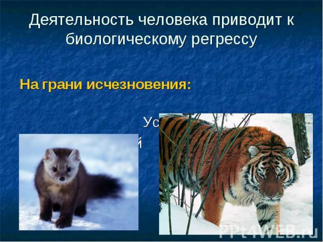 Деятельность человека приводит к биологическому регрессуНа грани исчезновения: Уссурийский тигрСоболь сибирский