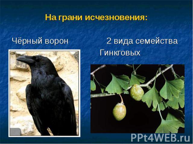 На грани исчезновения:На грани исчезновения:Чёрный ворон 2 вида семейства Гинкговых