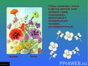 Пчёлы различают только 6 цветов: жёлтый, сине- зелёный, синий, «пурпурный», фиол