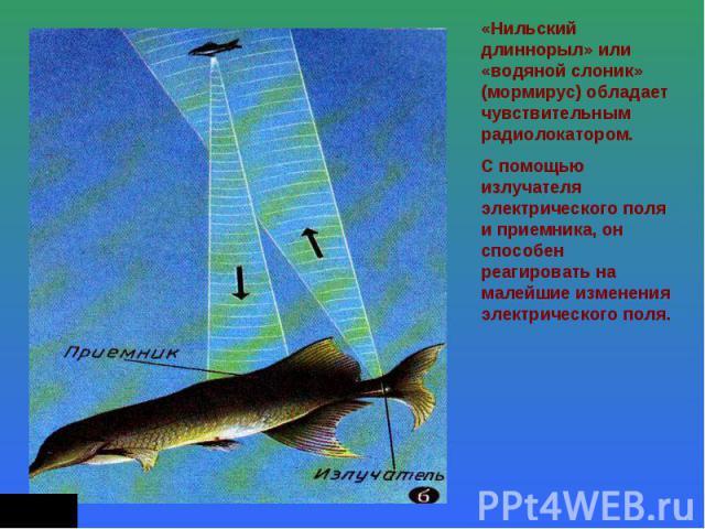 «Нильский длиннорыл» или «водяной слоник» (мормирус) обладает чувствительным радиолокатором.С помощью излучателя электрического поля и приемника, он способен реагировать на малейшие изменения электрического поля.