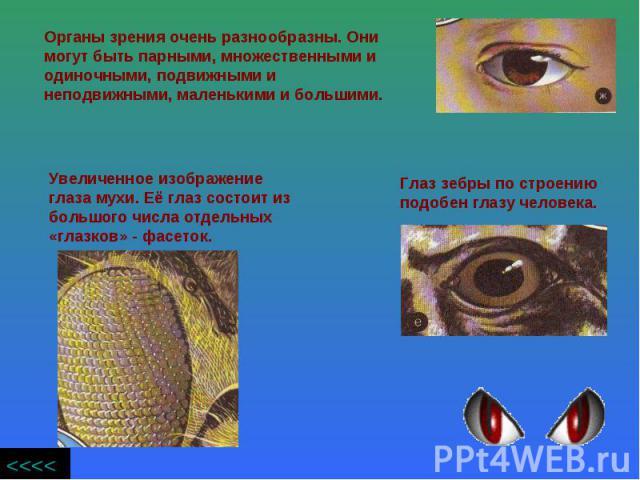 Органы зрения очень разнообразны. Они могут быть парными, множественными и одиночными, подвижными и неподвижными, маленькими и большими. Увеличенное изображение глаза мухи. Её глаз состоит из большого числа отдельных «глазков» - фасеток. Глаз зебры …