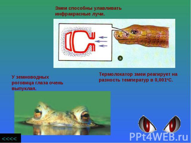 Змеи способны улавливать инфракрасные лучи. У земноводных роговица глаза очень выпуклая. Термолокатор змеи реагирует на разность температур в 0,001оС.